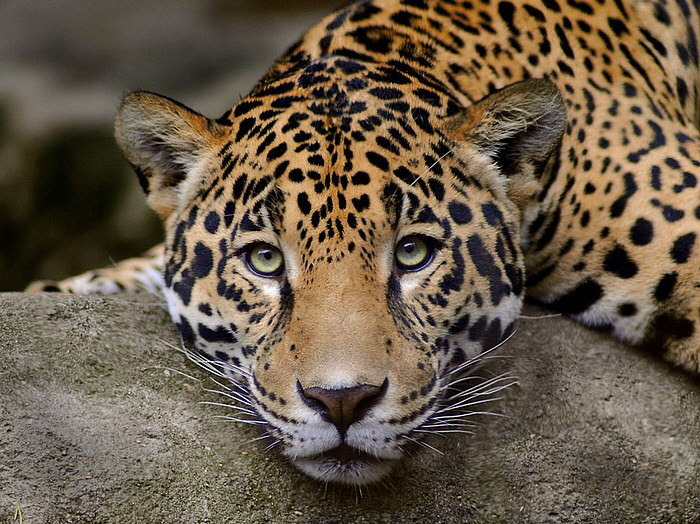 Leopard free Wallpaper...